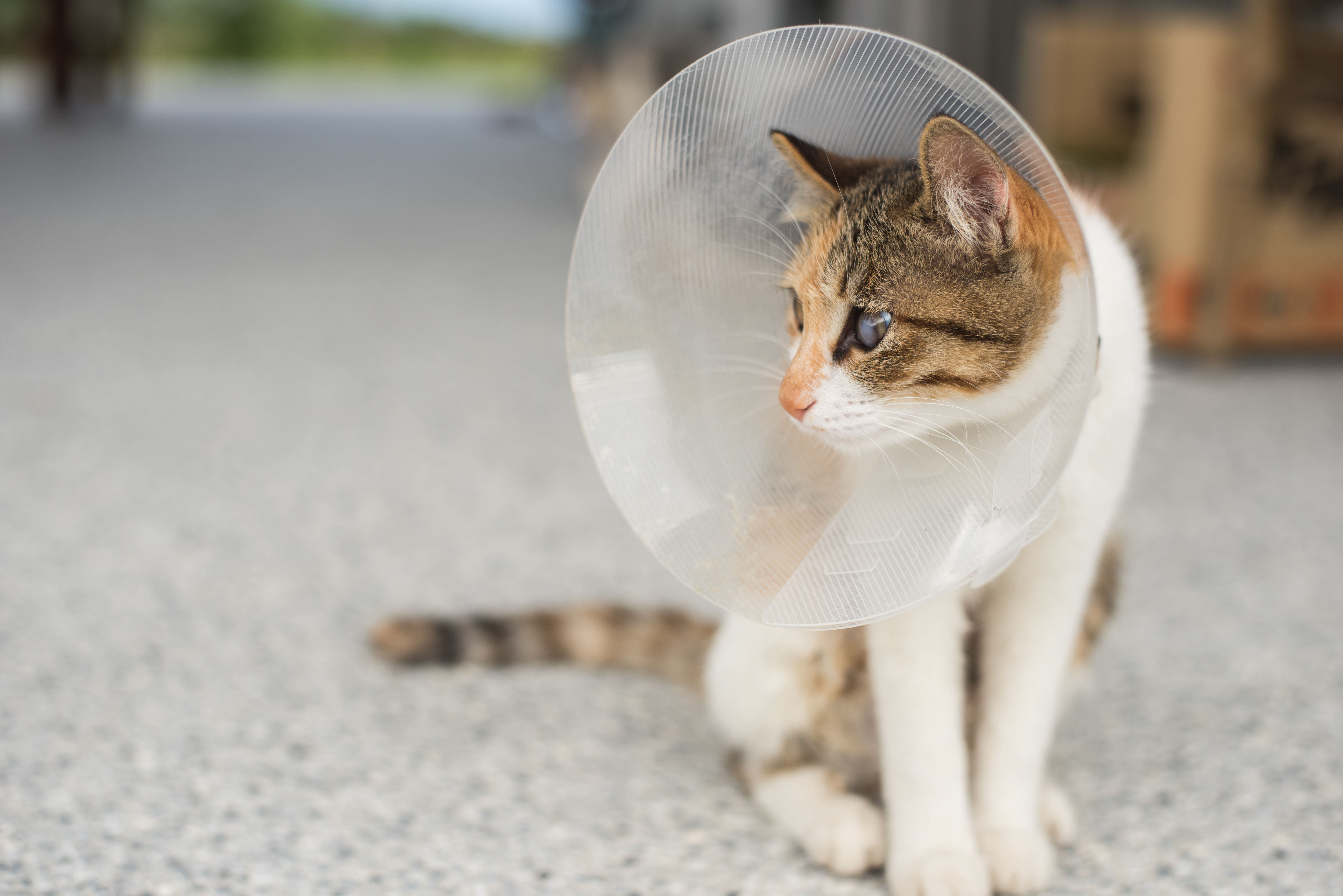 e-collar cone for spayed/neutered pets.
